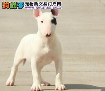 权威机构认证犬舍 专业培育牛头梗幼犬签订合法售后协议