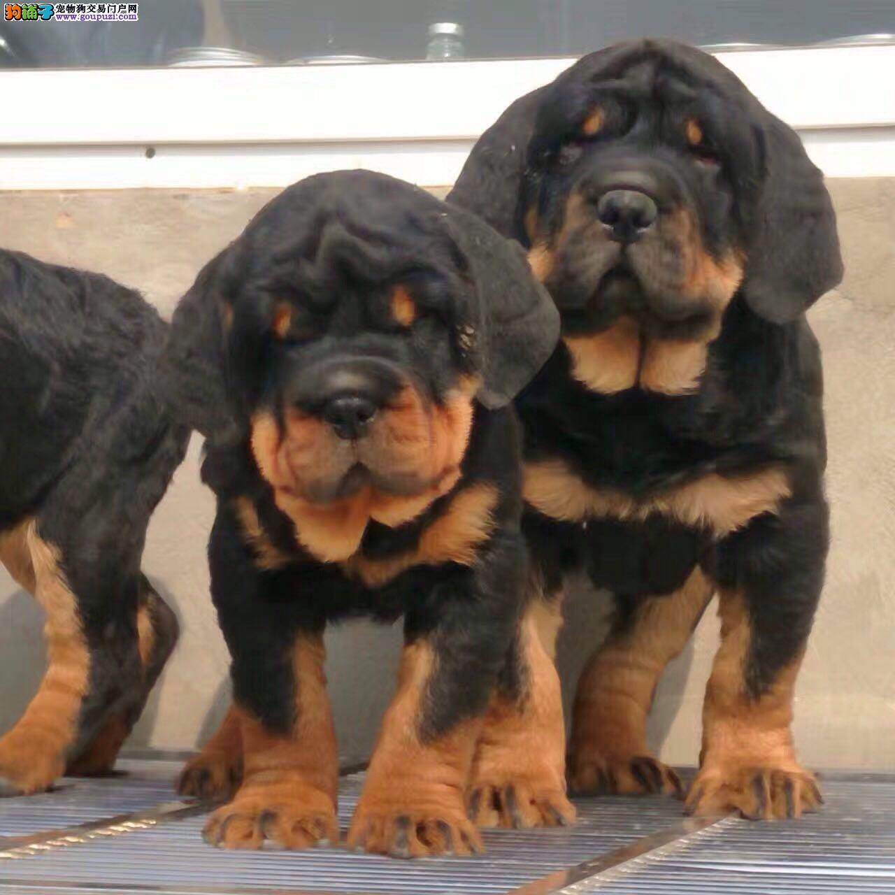纯种健康罗威纳犬 健康放心品质一流 上门挑选可签协