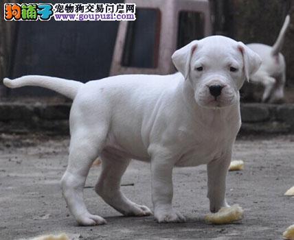 售纯种杜高幼犬 狗狗品相好纯种健康质保终身