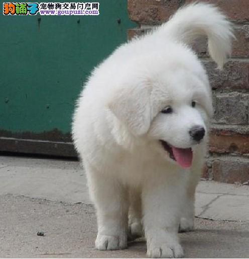血统纯正外观像雪獒性格温顺护主的大白熊出售了