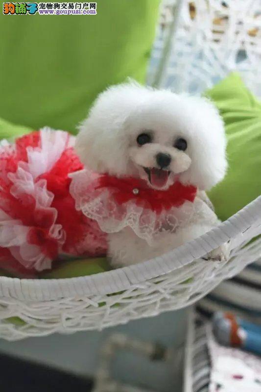 出售超级可爱的泰迪熊宝宝 保健康 保品质
