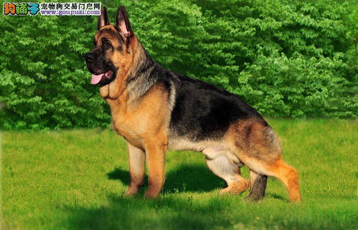 纯种健康的狼狗出售了公母都有欢迎选购