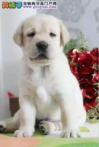 纯种健康的拉布拉多犬出售了公母都有欢迎选购