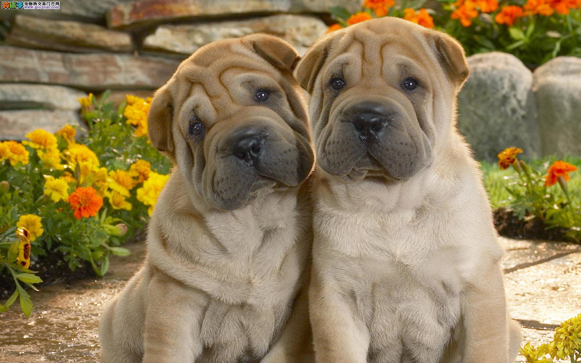 出售沙皮狗,公母都有,包纯种,有血统证,带芯片