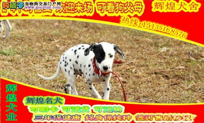 赛级斑点犬 大麦町犬品质保证 打完疫苗有证书芯片