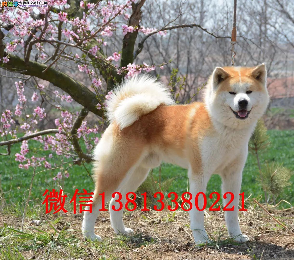 吉林哪里有纯种秋田犬出售纯种秋田多少钱一只日系秋田