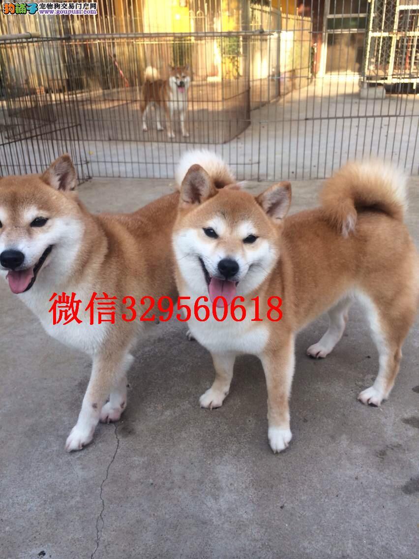 鞍山出售纯种柴犬 柴犬多少钱 鞍山哪里能买到纯种柴犬