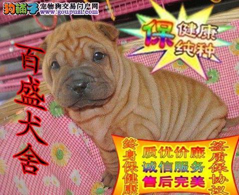 纯种沙皮犬,手感暖暖的,特别温顺,也可以萌到你哦