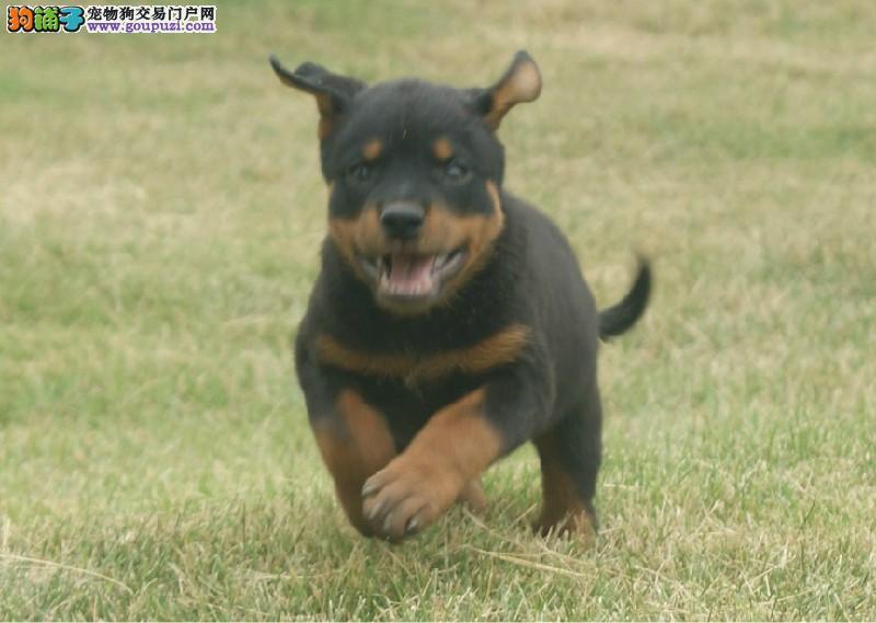 <杜宾/笃宾犬>德系/美系 幼犬宠物狗---纯种品质保证