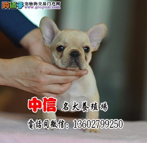 法国斗牛犬,专业繁殖出售赛级双血统法斗幼犬,颜色全