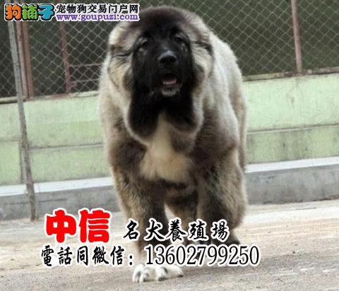 出售巨型高加索 顶级血统 赛级犬后代 保健康签协议