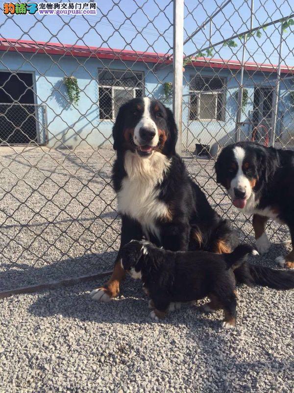 伯恩山犬,自家犬舍,出售纯种幼犬山地犬