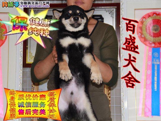 柴犬,正规犬舍,专业繁殖纯种赛级血统,可看视频