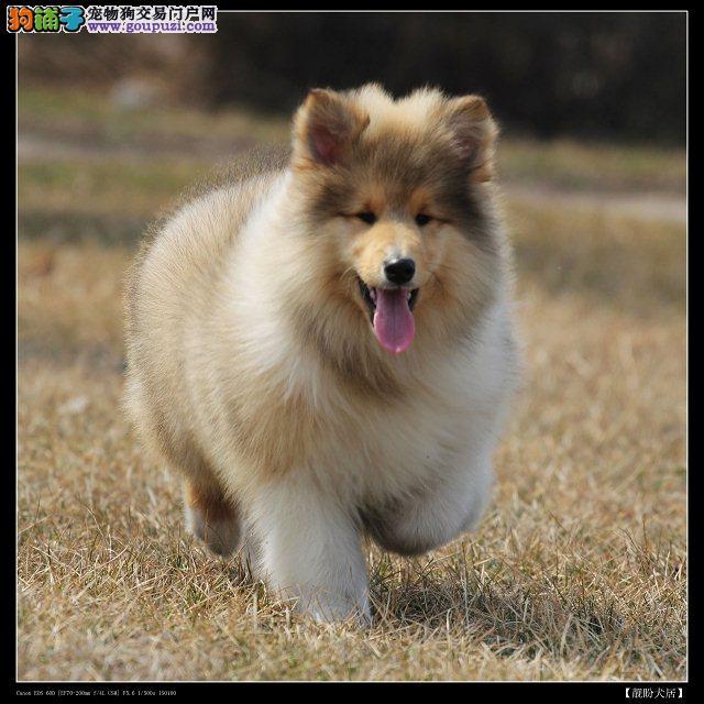 最大犬舍出售多种颜色苏牧终身完善售后服务