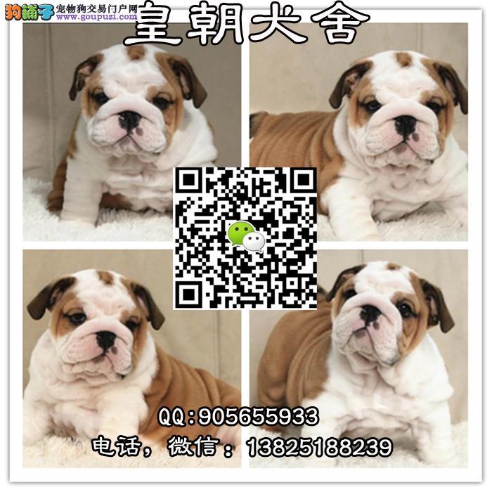 广州哪里有卖英国斗牛犬 广州宠物狗