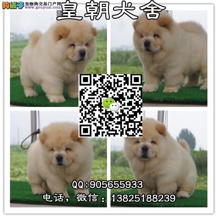 广州边度有卖松狮幼犬 广州边度有卖松狮犬