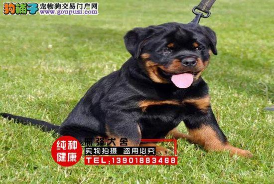 专业犬舍直销赛级罗威纳幼犬▶首选护卫犬◀
