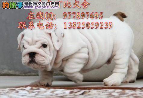 深圳哪里有卖斗牛犬 纯种英国斗牛犬法国斗牛犬出售