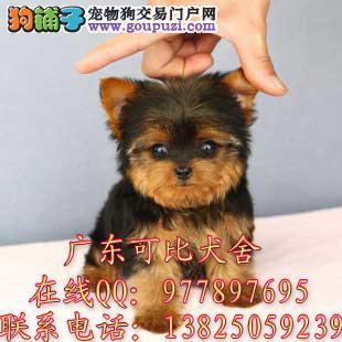 深圳哪里有卖约克夏犬 深圳哪里有卖小型犬