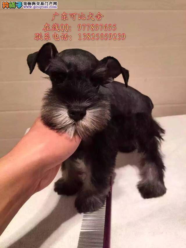 深圳哪里有卖雪纳瑞犬 出售迷你型标准型雪纳瑞小狗