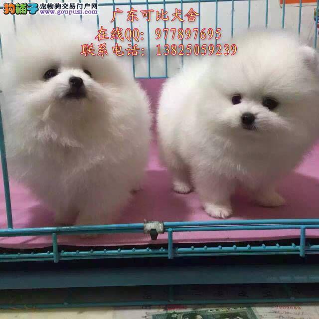 深圳哪里有卖博美犬 出售球体博美哈多利博美犬