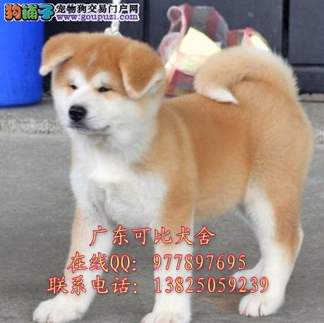 深圳哪里有卖秋田犬 出售纯种日系秋田美系秋田犬