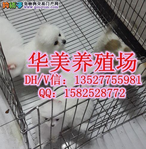 极品小体健康博美犬出售 广东华美犬舍专业繁殖