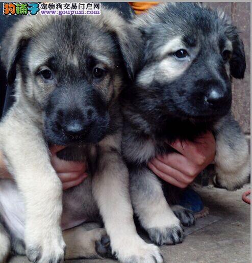 遵义最近养犬场 优价出售纯种狼青犬 狼狗