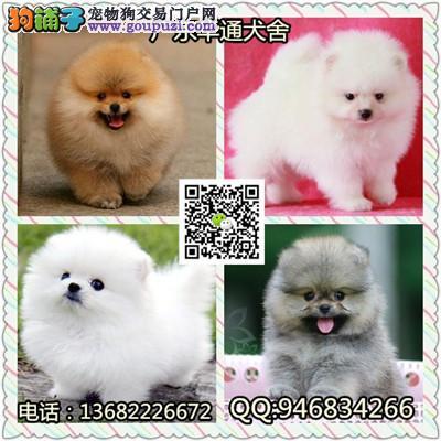 广州专业狗场繁殖博美犬 各类纯种名犬 包养活签协议