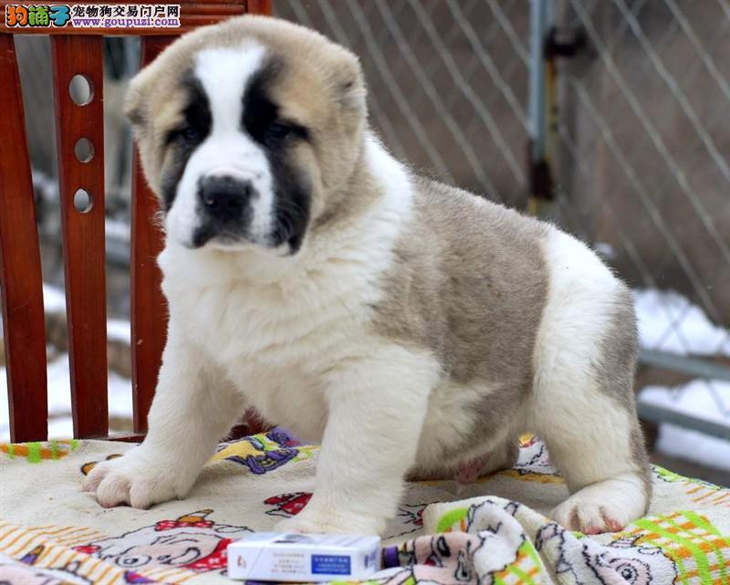 成都出售颜色齐全身体健康中亚牧羊犬全国十佳犬舍