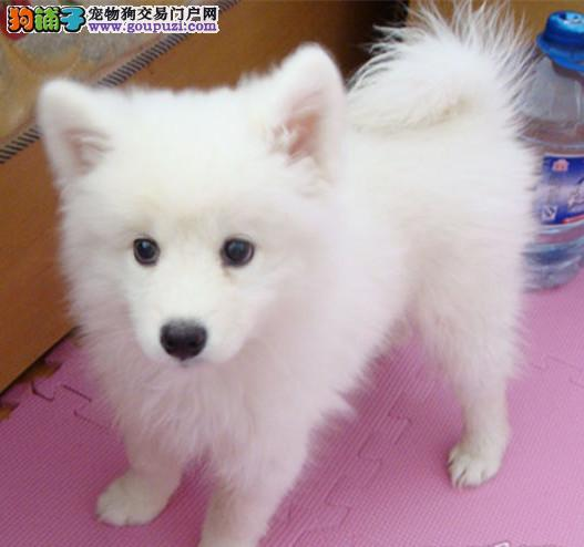 专业繁殖银狐犬 保健康 保品质 可签协议