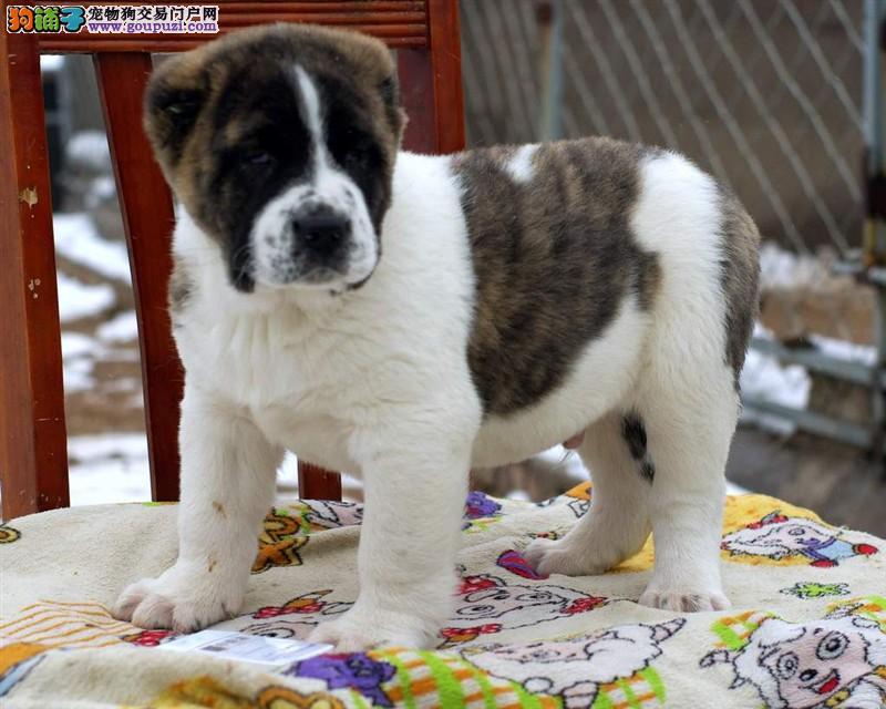 直销赛级中亚牧羊犬、公母均有颜色齐全、三年质保协议