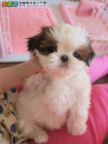 赛级西施犬宝宝,自家繁殖保健康,等您接它回家