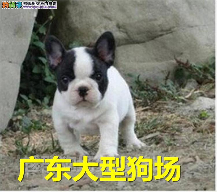 广东大型狗场出售极品法斗 血统纯正 健康质保