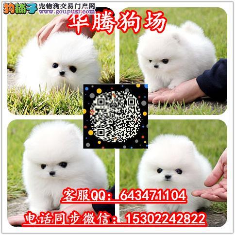 台湾哪里有卖茶杯博美幼犬价格多少台湾博美幼犬价钱