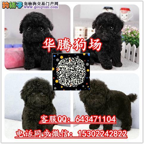 香港哪里有卖泰迪熊幼犬价格多少香港纯种泰迪熊