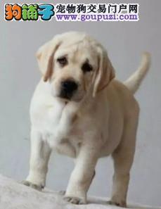 高品质纯种健康的拉布拉多幼犬 骨骼粗壮头版好