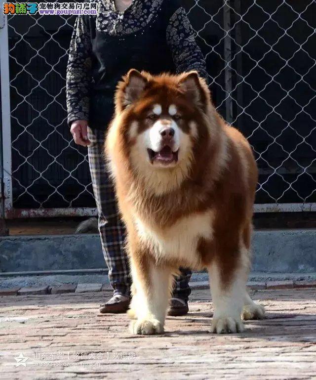大规模养殖基地出售熊版巨型阿拉斯加幼犬出售