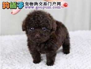 出售韩系小泰迪熊 包纯种包质量 家庭专业繁殖