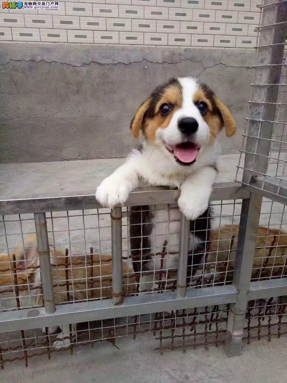 大连哪里有犬舍卖柯基犬 大连双色柯基怎么卖 柯基