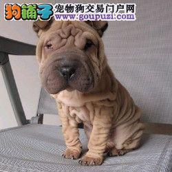 高端沙皮狗幼犬、纯度第一价位最低、三年质保协议