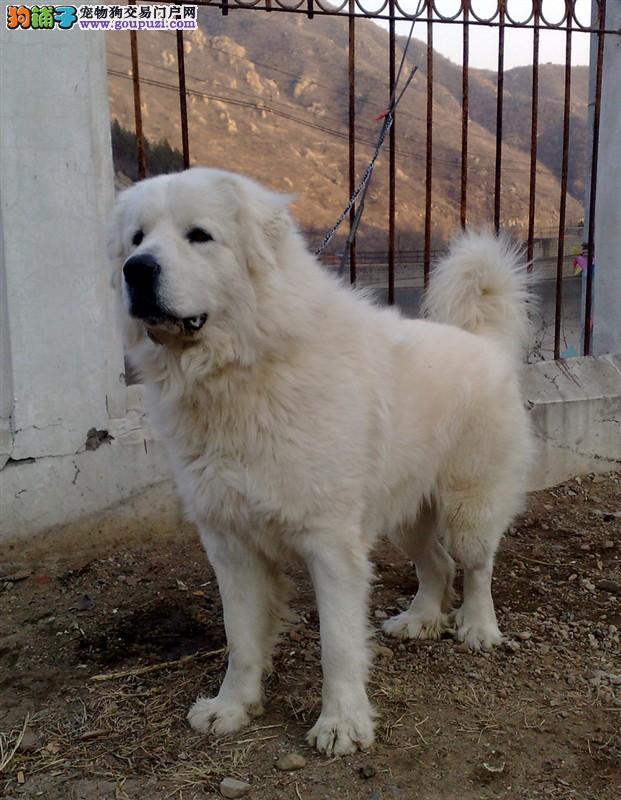犬舍出售纯种大白熊幼犬 可见父母