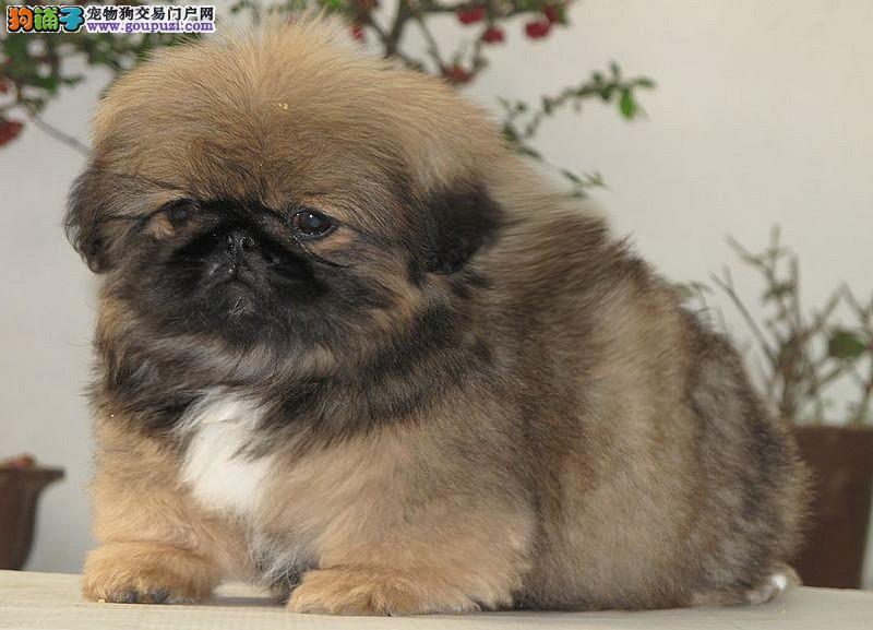 出售纯种京巴犬 可爱京巴幼犬 毛色亮丽 已做疫苗驱虫