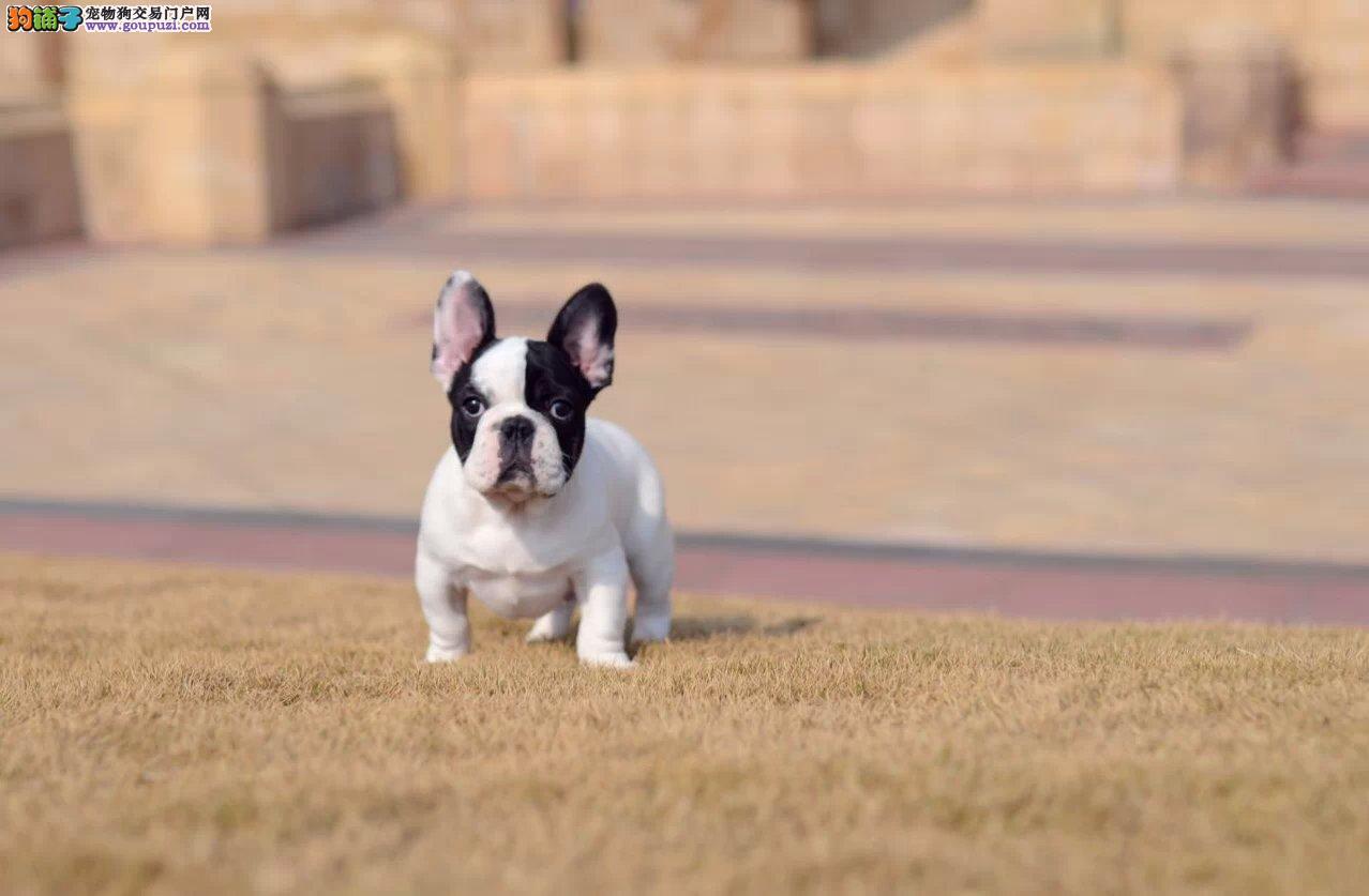 法国斗牛犬找新家,自家繁殖保养活,微信咨询看狗