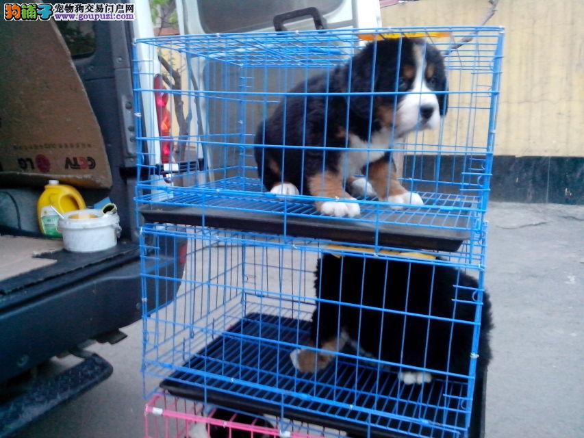 伯恩山犬性格,出售纯种健康品相好的伯恩山犬