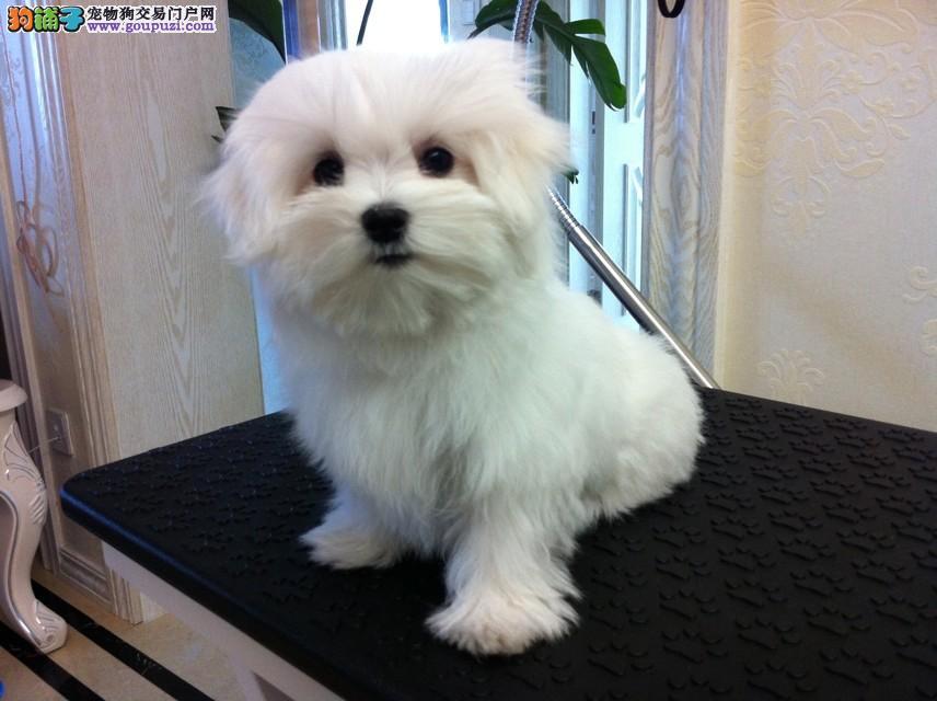 赛级品相郑州马尔济斯幼犬低价出售爱狗人士优先