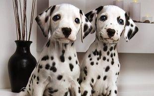 纯种健康的大麦町斑点幼犬出售了公母都有欢迎选购