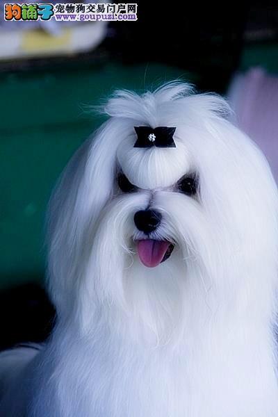 娇小可爱 优雅多姿纯血统马尔济斯犬 保证健康