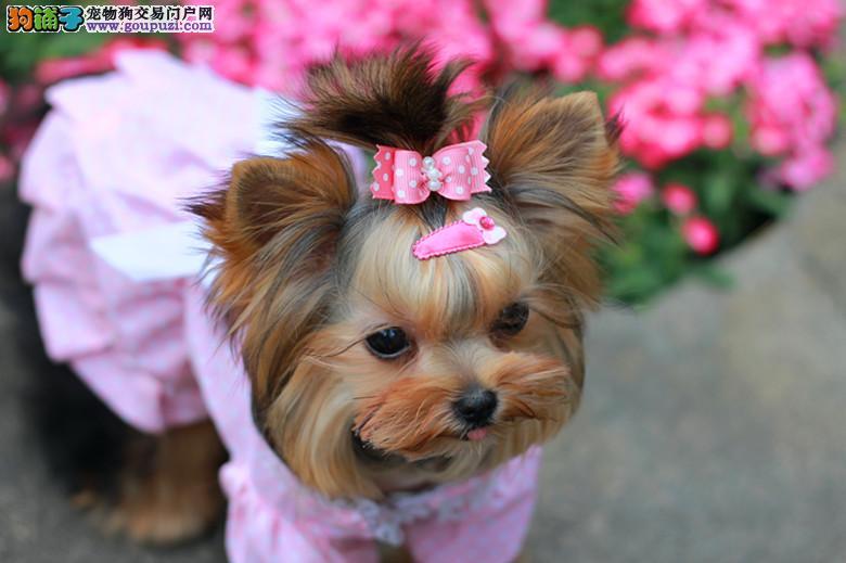 南京出售纯种宠物犬迷你约克夏犬/约克夏犬/实体店