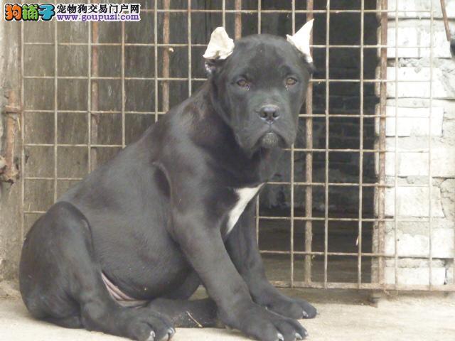 出售纯种卡斯罗幼犬,布什血系,保健康,可视频看狗狗